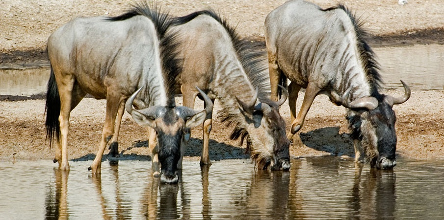 Wildebeest drinking water